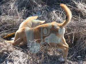 00-puppy-learning-to-hunt-img_4190