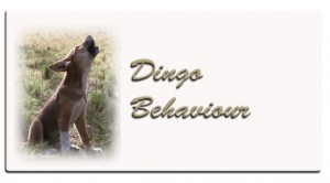 aa-dingo-behaviour