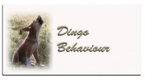 aa-dingo-behaviour