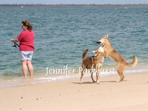 img_9923-dingo-aware