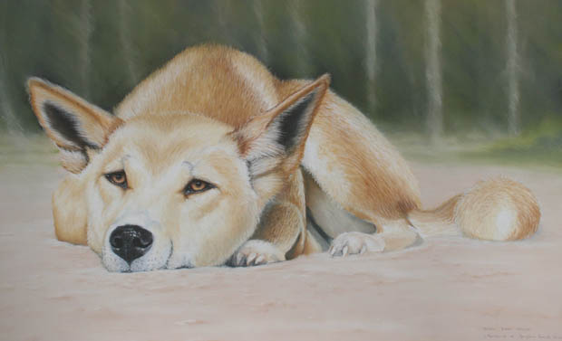 dingoes-2-img_2205