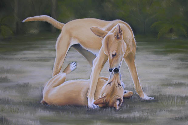 dingoes-dscn3476a