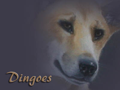 dingoes-heading