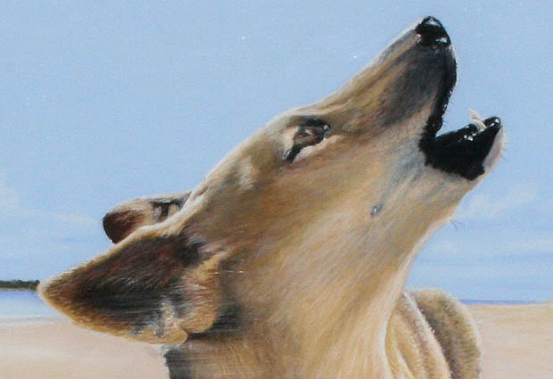 dingoes-img_4983