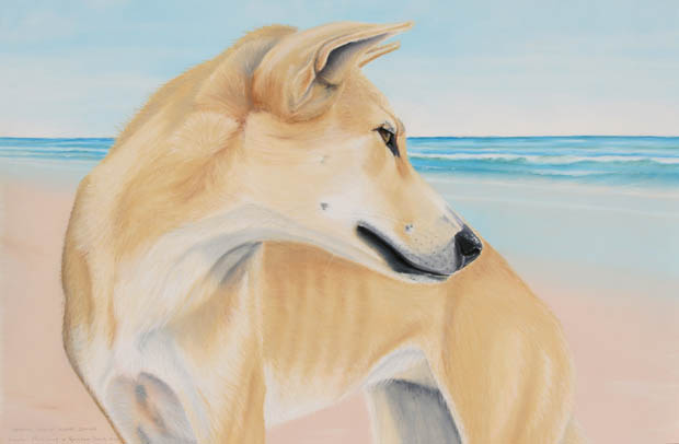 dingoes-img_5722
