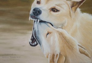 dingoes-p4020028