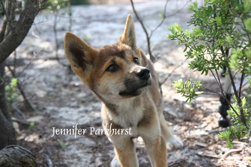 In Qld dingoes are declared a pest species which land owners and occupiers are required to control. In NSW  & SA, dingoes are both recognized as a native species and also a declared pest. Dingoes in Vic & WA have some protection in national parks (which do not border pastoral lands). They are undeclared (but also unprotected) in the NT, but protected in the ACT(control is allowed on private land subject to permit). Tas of course has no dingoes and their import is banned. (26)