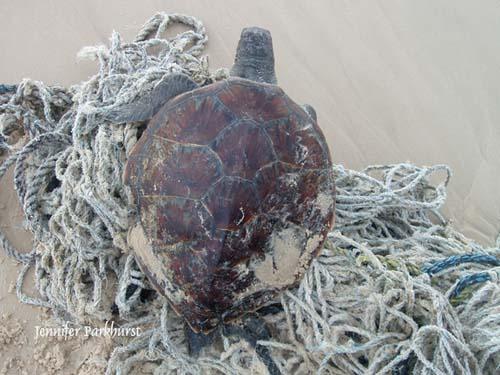 jp_turtle-4