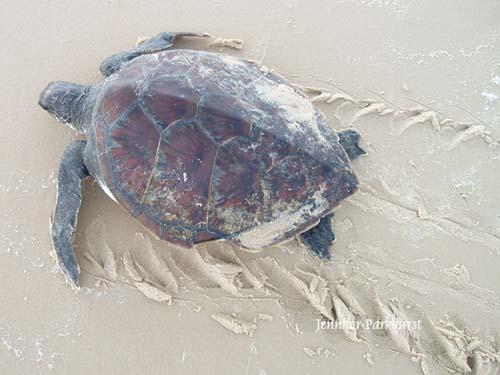 jp_turtle-6